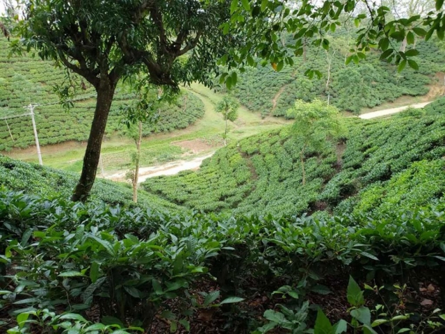 View of the tea garden from the resort